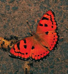 Baronet - Euthalia nais - Mumbai, India, by Isaac Kehimkar, via Flickr