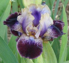 Siberian Iris 'Sculptured Wild'