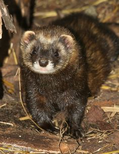 European polecat (Mustela putorius) — also known as the black or forest polecat - a species of mustelid native to western Eurasia and North Africa. It is of a generally dark brown colour, with a pale underbelly and a dark mask across the face.    Compared to minks and other weasels — also fellow members of the genus Mustela — the polecat has a shorter, more compact body, a more powerfully built skull and dentition, and is less agile.