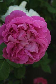 ~Hybrid Perpetual Rose: Rosa 'Paul Neyron' (France, 1869)