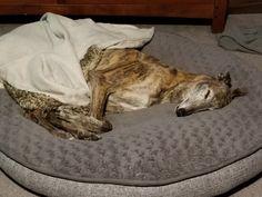 Greyhound sleep time