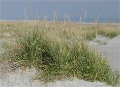 Atlantic Coastal Plants