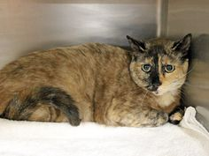 Mu Mu (ID: A399305) is a gorgeous one-of-a-kind cat. She can be shy at first meeting but is affectionate, lovely and looking for a forever home. Mu Mu was surrendered to the shelter when her person moved and was not able to take her along. Mu Mu may take a bit of extra time and TLC to settle in but will be well worth any extra effort. She is available for adoption at Pet Food Express Adoption Center, 1975 Market Street, San Francisco, CA 415-431-4567.
