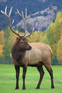 Elk~ Estes Park 2011 - just beautiful Beautiful Creatures, Animals Beautiful, Cute Animals, Wild Animals, Elk Pictures, Animal Pictures, Wild Life, Elk Hunting, Pheasant Hunting