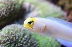Jawfish are species of saltwater fish very similar in appearance to blennies. They are however smaller in size than blennies and are characterized by their comparatively larger mouths and heads.