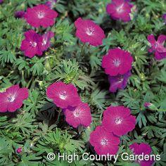 Geranium sanguineum 'New Hampshire'