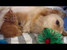 Orange Foster Kitten and his Sisters Cuddling With Big Dog & Playing With Bows - YouTube