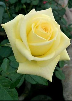 All About Yellow Flowers For Your Garden & Put A Smile On Your Face! Yellow flowers commonly evoke feelings of happiness and cheer, which is exactly what they symbolize. Beautiful Rose Flowers, Flowers For You, Amazing Flowers, My Flower, Beautiful Flowers, Cactus Flower, Exotic Flowers, Yellow Flowers, Pink Roses