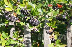 Aronia Melanocarpa, Vodka, Fruit, Food, Syrup, Eten, Meals, Diet