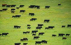 cattle gazing montana | Cattle grazing on Matador Ranch in Montana. © Ami Vitale