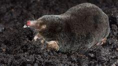 De mol heeft een zwarte, fluweelachtige dichte vacht. De haren van zijn vacht zijn op zo'n manier in de huid geplaatst dat ze elke kant op kunnen bewegen. De mol heeft grote tot graafhanden omgevormde voorpoten, met elk vier vingers en een duim met puntige nagels, waarmee hij uitstekend kan graven. De mol heeft kleine, slecht ontwikkelde ogen, maar hij is niet blind. Hij heeft een spitse, slurfvormige roze snuit met gevoelige snorharen en tastzenuwen en een klein staartje. Hij heeft geen…