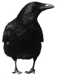 crow 4 by peroni68 on DeviantArt