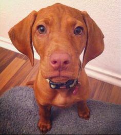 Hungarian vizsla dog puppy