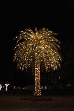Christmass Palm Tree in Charleston, S.C.