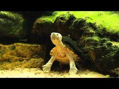 Razorback Musk turtles, in HD Musk Turtle, 5 Year Olds, Turtles, Lion Sculpture, Creatures, Fish Tanks, Aquariums, Hedgehog, Animals
