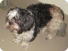 Shih Tzu Dog for adoption in Johnson City, Tennessee - hercules