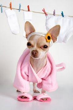 Chihuahua spa day