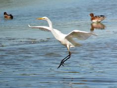 Great White Egret at Marquenterre | Flickr - Photo Sharing!