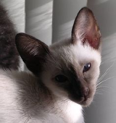 Siamese Cat  I really want a pet....or kids........  We are Siamese if you please.....