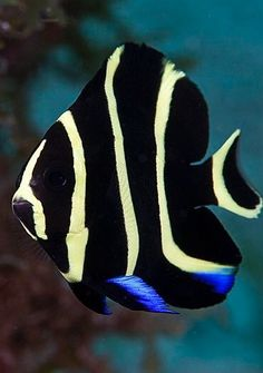 French Angel juvenile - I see these frequently when snorkeling. Such bright yellow and jet black!French Angel juvenile - I see these frequently when snorkeling. Such bright yellow and jet black! Underwater Creatures, Ocean Creatures, Colorful Fish, Tropical Fish, Beautiful Creatures, Animals Beautiful, Saltwater Fish Tanks, Salt Water Fish, Water Animals
