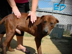 Ed: Labrador Retriever, Dog; Mullins, SC We are rescue friendly, adoption friendly, and transport help is available. Please contact Karen at SaveAMarionPup@gmail.com for more information about adopting or rescuing a pet from PTTR/Marion County Animal Shelter!    Number: #121825  Breed: Lab mix