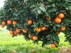 Fruit Tree Donor for The Giving Garden Fruit Plants, Edible Plants, Fruit Trees, Trees To Plant, Flora, Orange Fruit, Orange Farm, Orange Trees, Orange Grove
