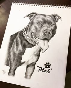 Time lapse drawing of a Pit Bull dog by Karen Governale  www.KarenGovernale.com www.Facebook.com/artbykarengovernale