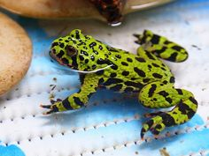 This fire bellied toad care sheet will help you with everything: diet, lifespan, humidity, water temperature, housing, lighting, substrate and etc