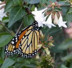Adult monarch butterfly nectaring in a backyard garden.