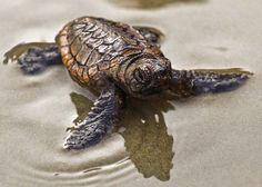 Loggerhead turtles on Litchfield and Pawleys Island Scavenger hunt Litchfield Beach, Loggerhead Turtle, Pawleys Island, Turtle Love, Nature Center, Endangered Species, Island Life, South Carolina, Fur Babies