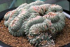 Lophophora Williamsii (forma cristata)