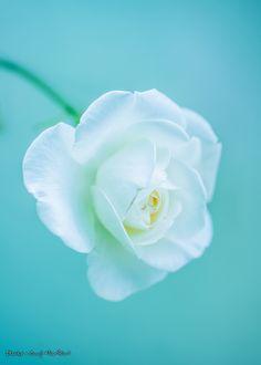 White Rose by Shuji Horikiri on 500px