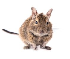 Image of front, hamster, cute - 24665971 Degu, Vector Design, Exotic, How To Draw Hands, Cute, Baby, Animals, Vector Hand, Hand Drawn