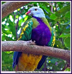 On the other hand, the Wompoo Fruit Dove (pic 2), also flogs a few mulberries, but he doesn't carry on like the Storm Bird. Description from daleysfruit.com.au. I searched for this on bing.com/images