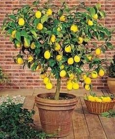 Easy to Grow in your Kitchen or Patio - Here's Why the Meyer Lemon is the Best Selling Patio Citrus Tree: So Hardy, it Grows Indoors or Out... reportedly withstanding brief temperatures as low as 22 F. If you live in a colder climate, you can easily move it inside for the winter. Your tree will continue to bear fruit and brighten your...