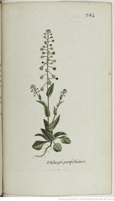 THLASPI - Thlaspi perfoliatum. La bourserette