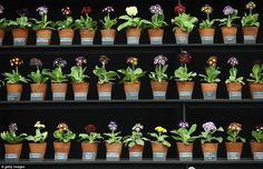 Pots of Auricula plants