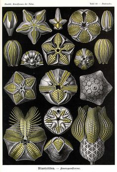 "Ernst Haeckel ~ Art Forms in Nature ""Blastoidea"""