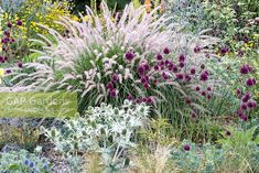 Detail of steppe planting with Allium sphaerocephalon, Eryngium giganteum and Pe., Detail of steppe planting with Allium sphaerocephalon, Eryngium giganteum and Pennisetum orientale. Allium Sphaerocephalon, Garden Borders, Garden Paths, Outdoor Garden Rooms, Garden Front Of House, Cottage Garden Design, Colorful Garden, Ornamental Grasses, Dream Garden