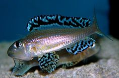 "Xenotilapia papilio ""tembwe deux"" Tropical Fish Aquarium, Freshwater Aquarium Fish, Planted Aquarium, Fish Aquariums, Beautiful Tropical Fish, Beautiful Fish, Underwater Creatures, Underwater Life, Lake Tanganyika"