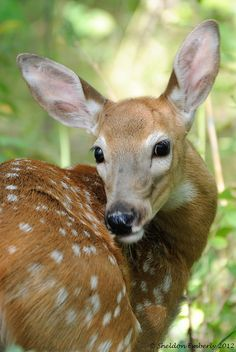 White Tailed Deer Fawn by Sheldon Emberly | Flickr - Photo Sharing!