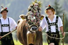 Farmers wearing traditional Bavarian clothes lead cattle down from the mountains to the southern German town of Bad Hindelang on September 11, 2008. Up to 800 cattle returned to the valley after spending 100 days in the mountains over the summer months. 2008