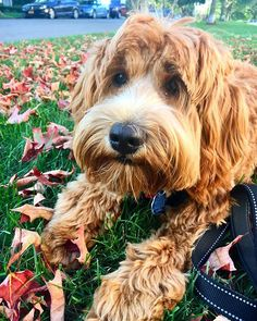Hello Fall . . . . . . . . . #dog #dogs #dogsofig #dogs_of_instagram #dogsoftheworld #dogsofinstaworld #dogsofinstgram #dogstargram #dogsoftheworld #pup #puppy #dogs_of_world #puppylove #puppylife #doodletales #doodlesofinstagram #labradoodlesofinstagram #labradoodle #puppiesofinstagram #instapuppy #labradoodlesofinsta #labradoodlesrule #puppylove #doodlesquad926 #puppyfeature #instapup #dog_features #dogstargram