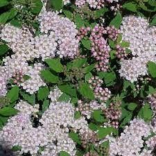 Kuvahaun tulos haulle spiraea japonica froebelii little princess