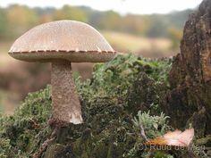 Birch Bolete  #mushrooms