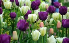 Tulips from Holland are world famous. #flowers #tulips #Holland