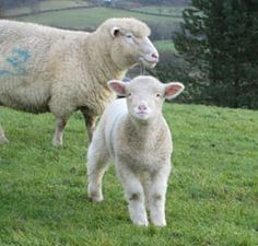 White Dorset Horn top wool tops fibre for hand spinning and felt making. Farm Animals, Animals And Pets, Cute Animals, Dorset Sheep, Amazing Animal Pictures, Sheep Breeds, Sheep Art, Cute Sheep, Sheep And Lamb