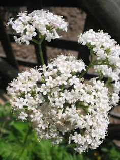 """Herbs For Depression: Valerian root. The name valerian comes from the Latin word 'valère, ' meaning """"I am worth"""". drops of a tincture of the the fresh roots can be taken to alleviate depression and anxiety. Healing Herbs, Medicinal Plants, Garden Seeds, Garden Plants, Garden Web, Herb Gardening, Balcony Garden, Herb Plants, Rain Garden"""