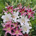 Lilies   Guardian Garden Centre