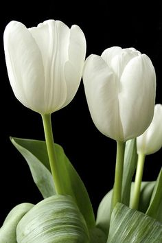 tulips garden care Most up-to-date Cost-Free Tulip flower Tips Extended stay the tulip ! Plant the ing extremely colorful gem mobile phone . an attractive display in White Tulips, Purple Tulips, Tulips Flowers, White Flowers, Beautiful Flowers, Roses, Garden Care, Tulips Garden, Planting Flowers